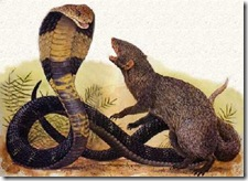 King Cobra & Mongoose Fight